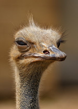 Photo of ostrich from the neck up, looking directly at the camera