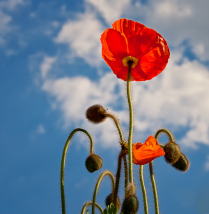 Photo of a vivid red poppy against a lightly-cloudy blue sky